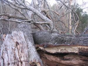 The grandfather oak